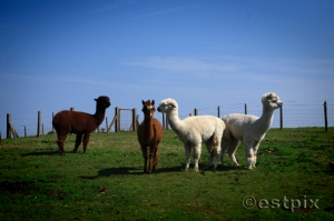 Exmoor Llamas