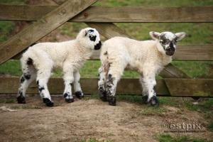 More Torrs lambs