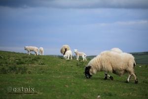 Torrs lambs